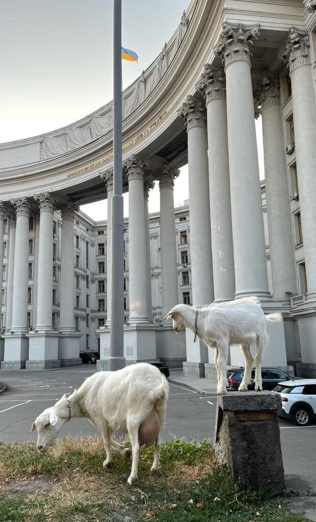 Дві кози паслися біля МЗС.