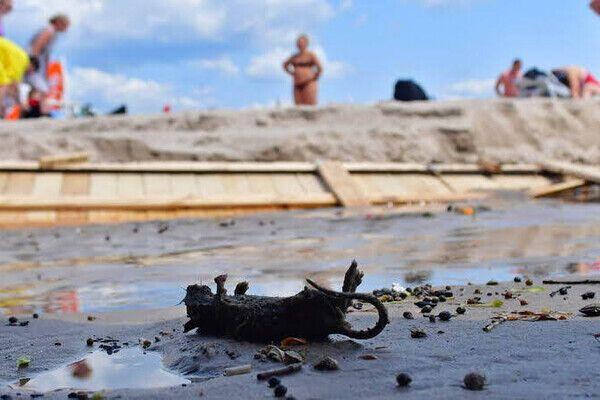 На пляже полно мертвых крыс.