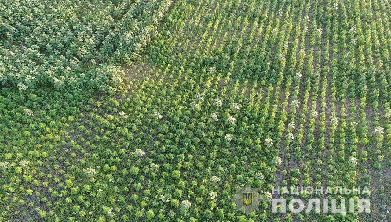 Земельна ділянка з десятками тисяч кущів конопель була на території Чаплинської ОТГ