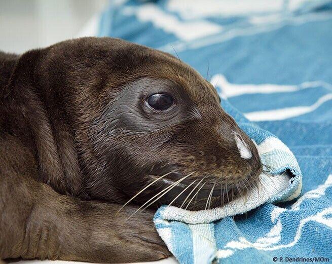 Тюлень-монах Костис.