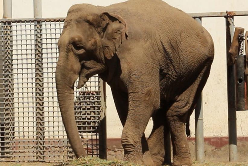 Умерла слониха Тэнди