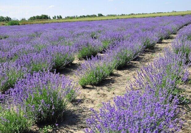 Лавандовое поле в Васильевке