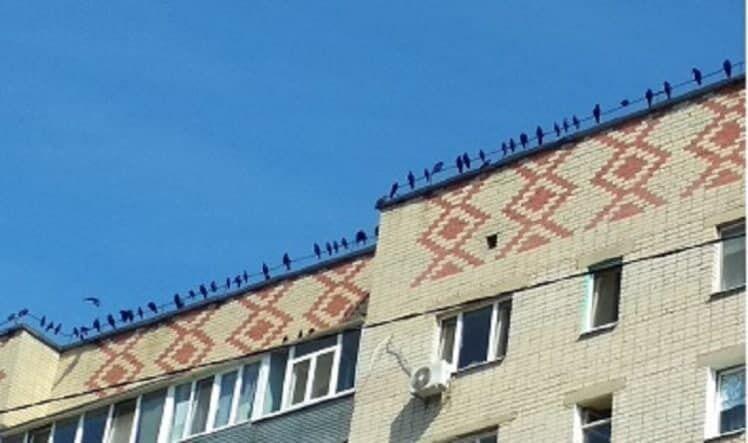 Птахи влаштовують нескінченні бійки