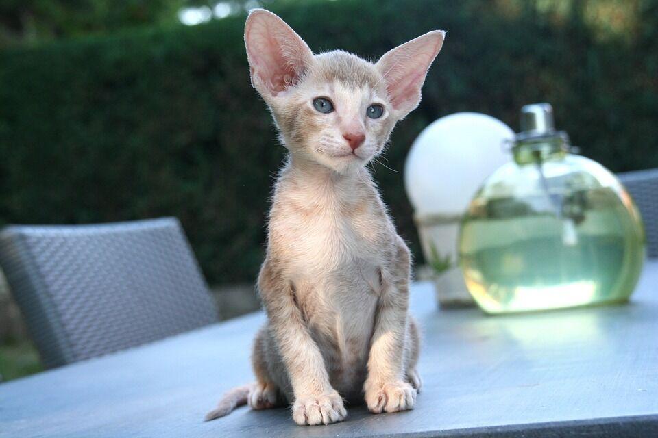 Східний кіт