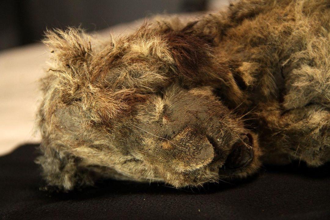 На момент смерті левенятам було 1-2 місяці