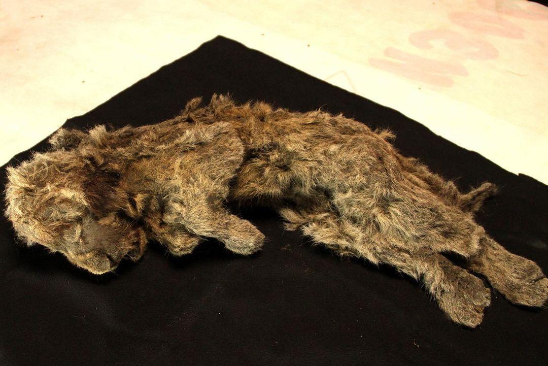 Левеня знайдено в майже ідеальному стані в сибірській Арктиці