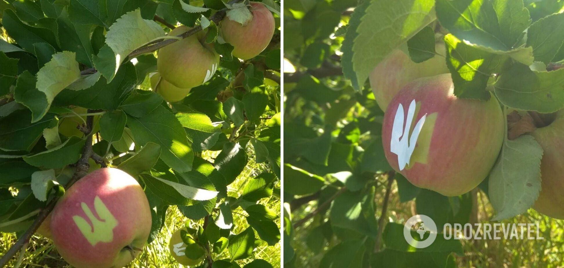 Оригінальні яблука виростили до Дня Незалежності
