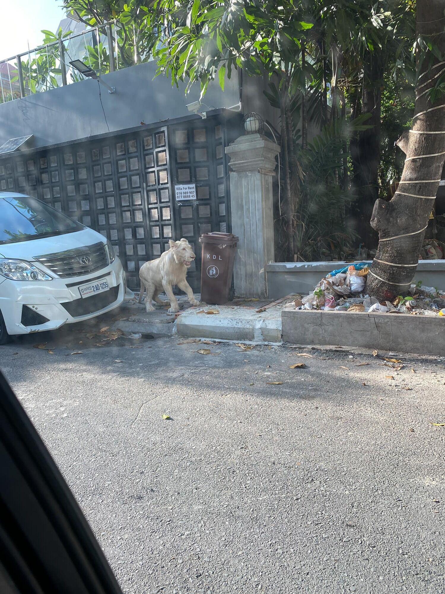 Лев самостоятельно прогулялся по улице.