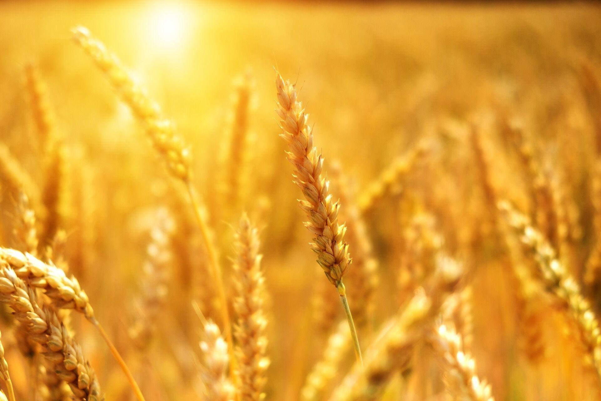 Колоски пшениці
