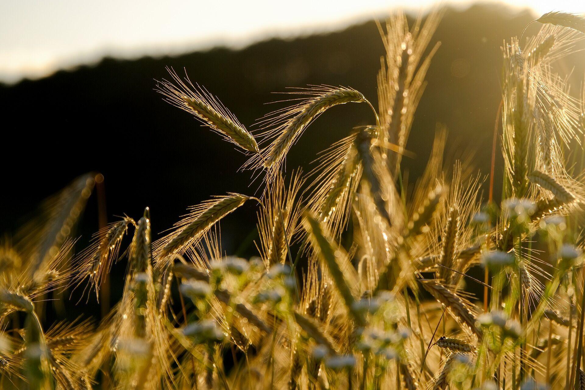 Свято Успіння знаменує завершення збирання врожаю пшениці