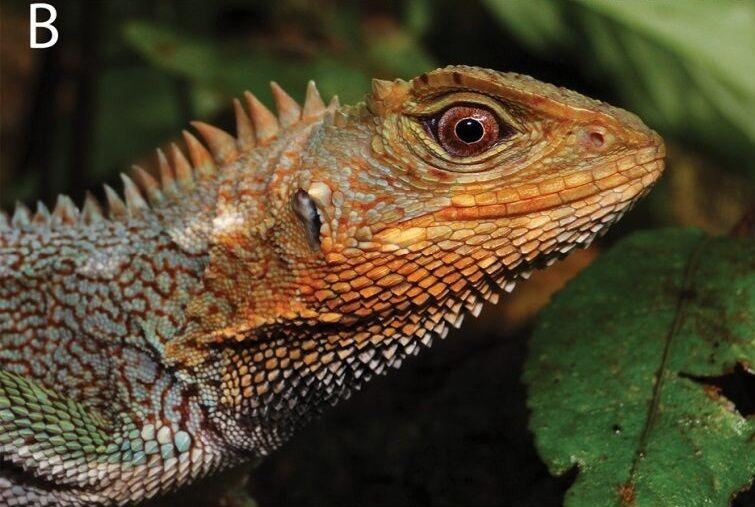 Голова ящерицы-дракона