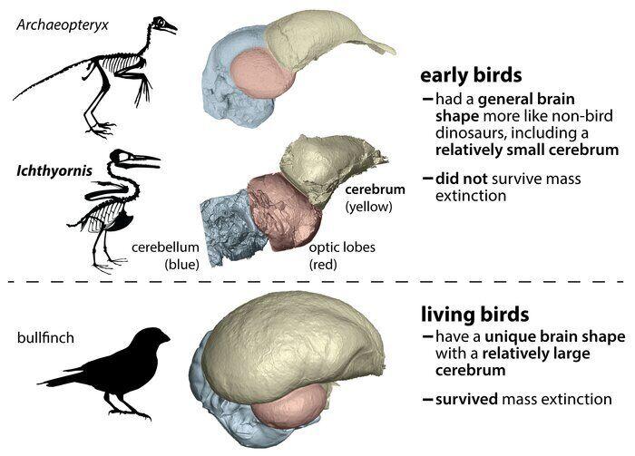 У предков живых птиц и других динозавров форма мозга сильно отличалась