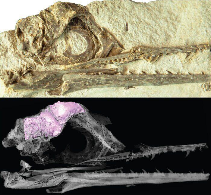 Фото черепа Ихтиорнис и 3D-модель