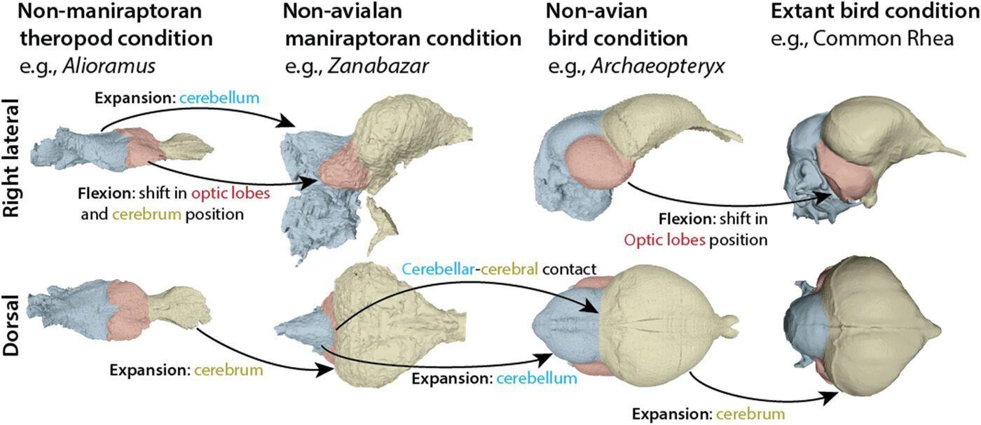 Неповрежденный череп Ихтиорнис позволил ученым исследовать мозг птицы