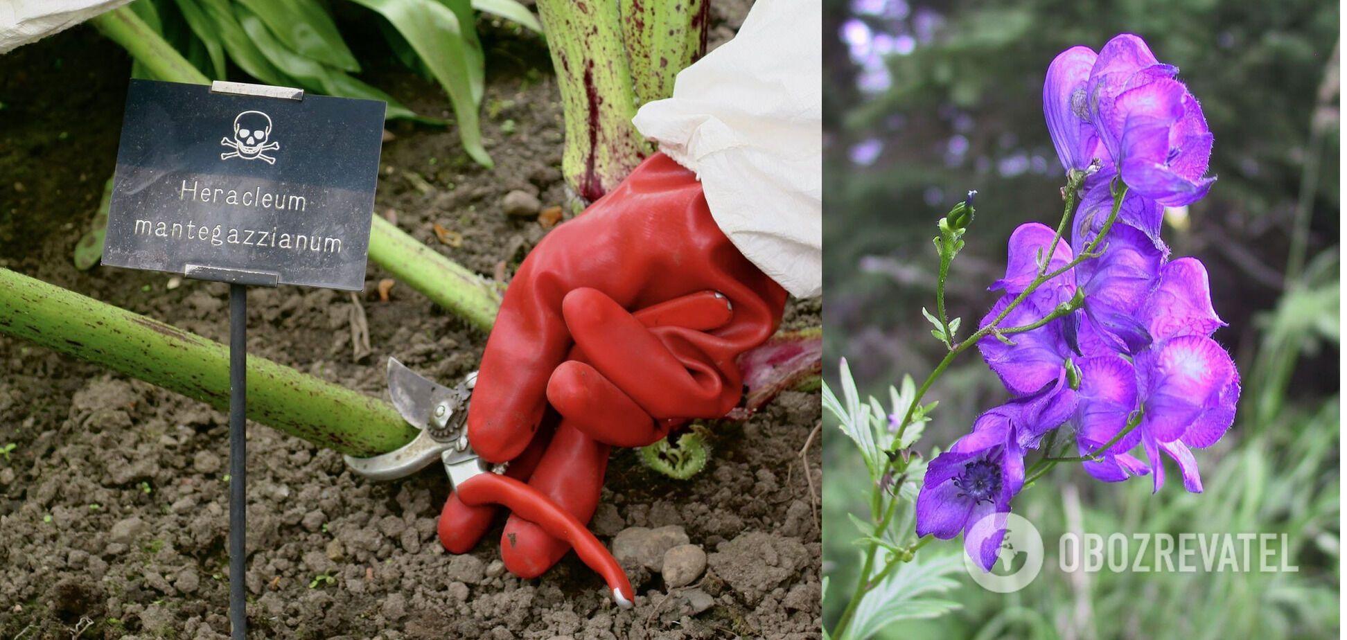 За некоторыми растениями садовники ухаживают в защитных костюмах; цветок аконит