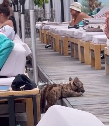 Леопард пытался вырваться