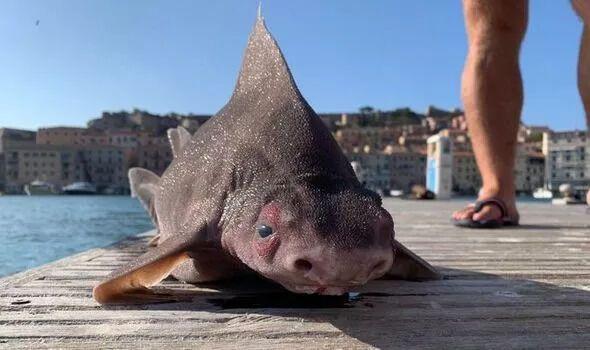 Выловлена акула-свинья