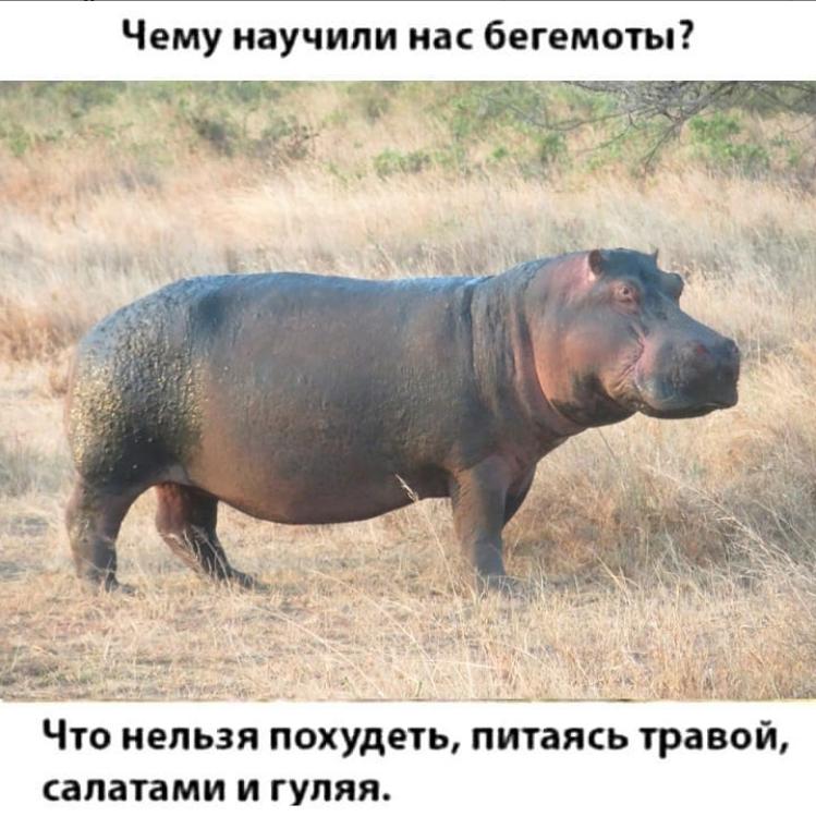 Шутка о бегемотах