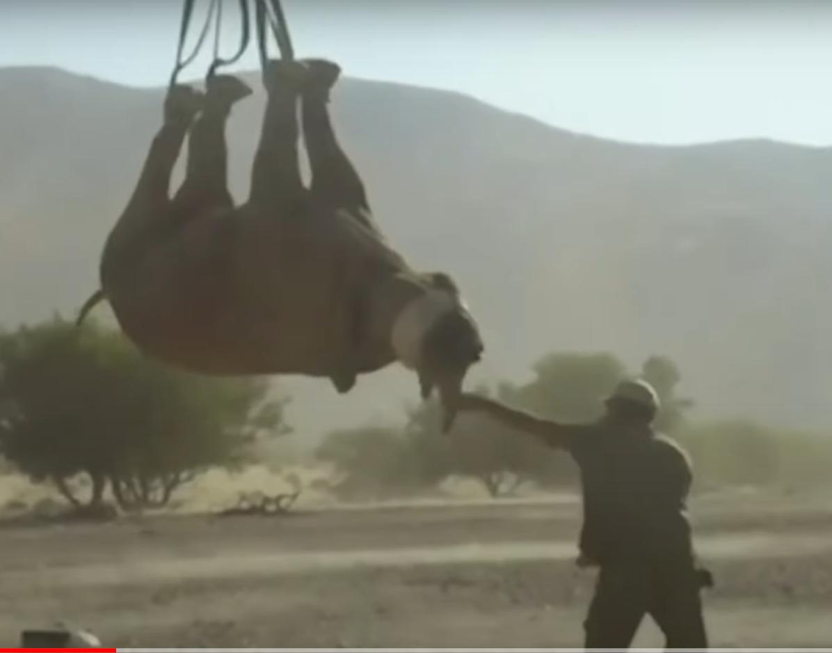 Носорога перевозят вверх ногами