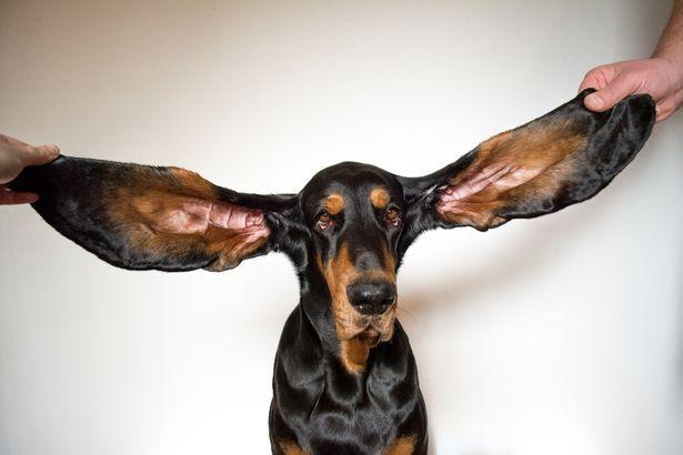 Самые длинные собачьи уши в мире