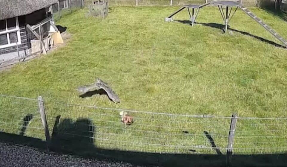 Момент нападения ястреба на курицу.
