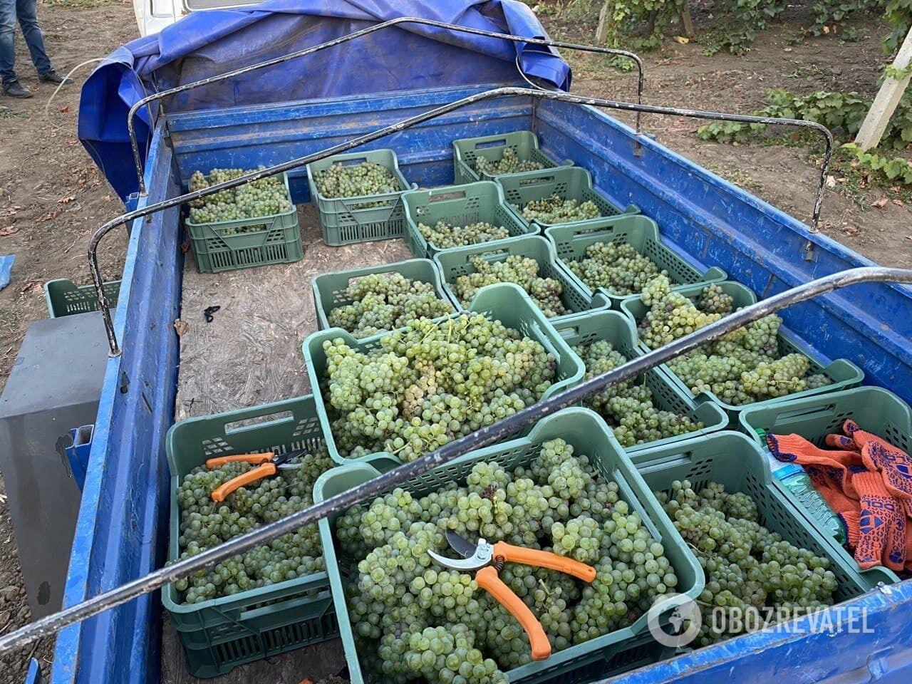 До восхода солнца ягоды винограда максимально низкой температуры