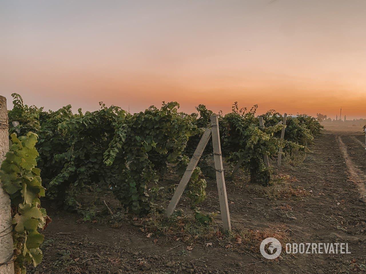 Винодельне KOBLEVO принадлежит более двух с половиной тысяч гектаров виноградников