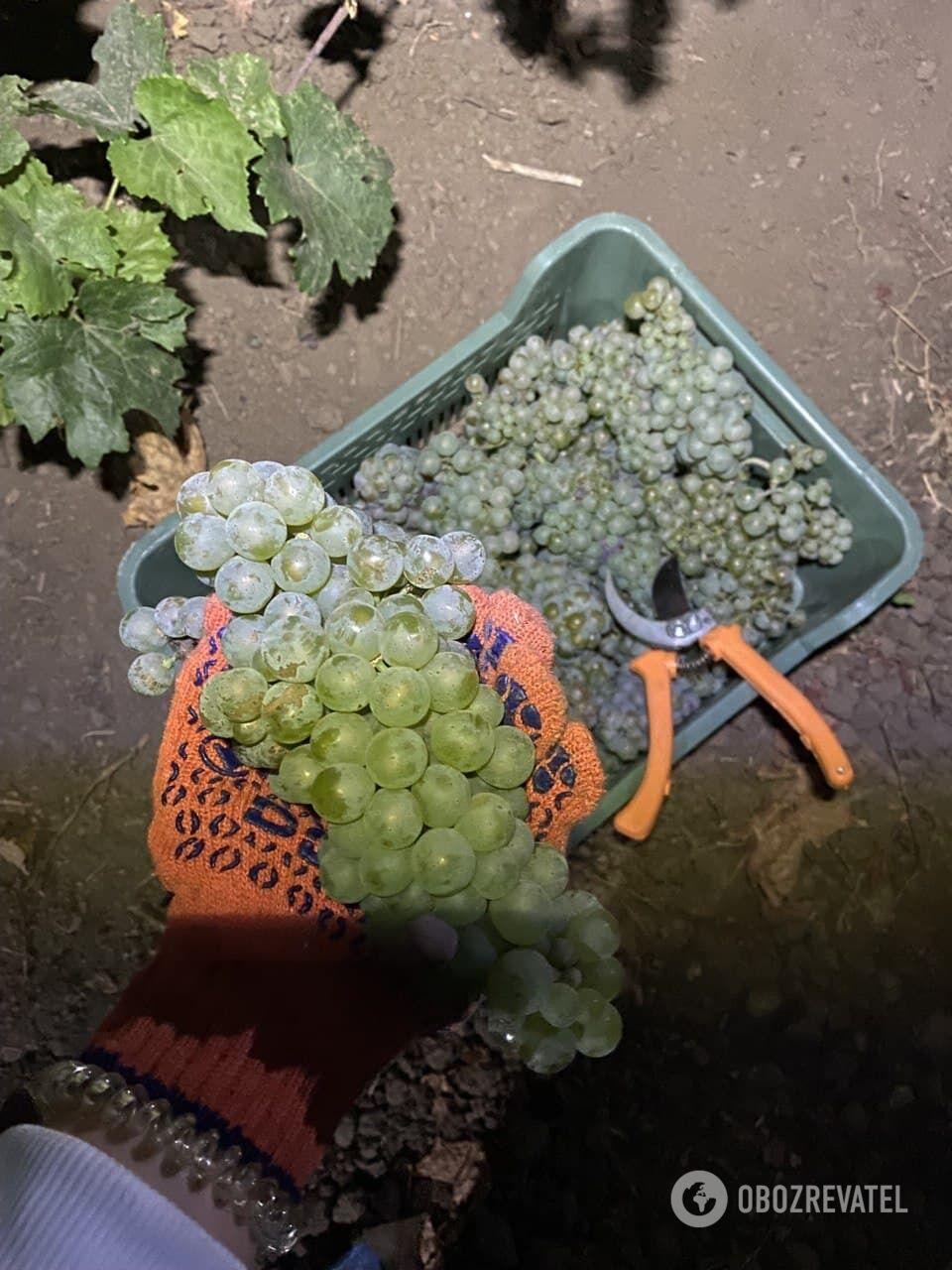Лучший виноград для вина собирают на рассвете