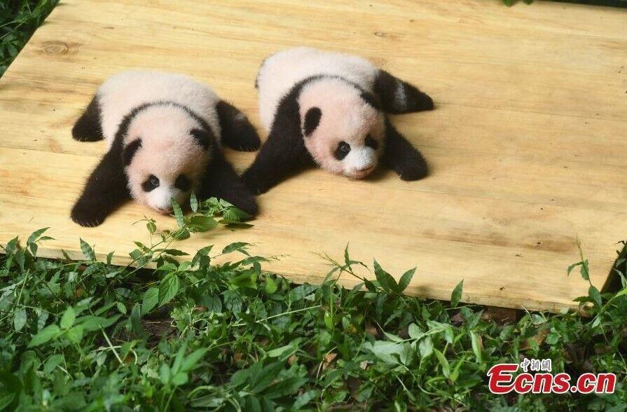 В Китае показали медвежат-близнецов большой панды