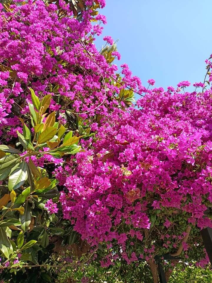 В Махмутларе, которому всего 15 лет, целые аллеи цветущих деревьев.