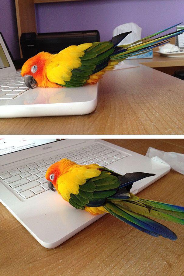 Папуга приліг відпочити