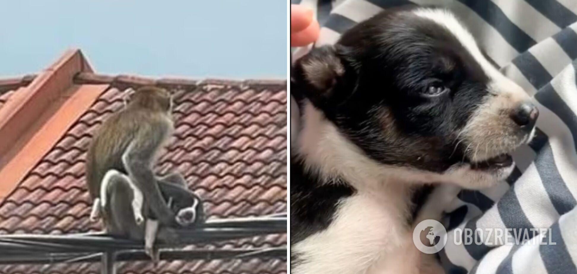 Обезьяна украла двухнедельного щенка
