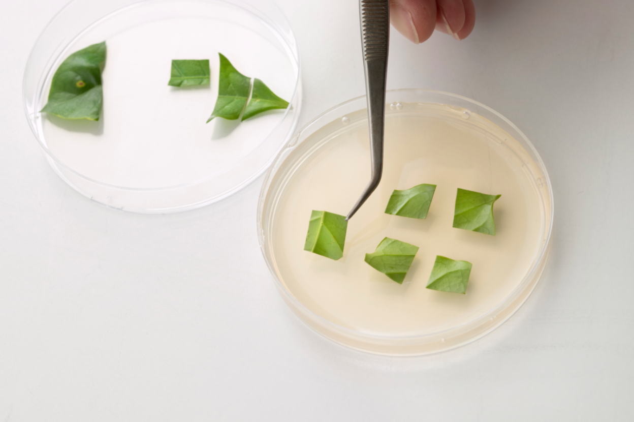 Каву роблять з листя.