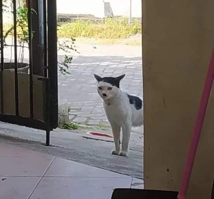 Кіт, схожий на Гітлера