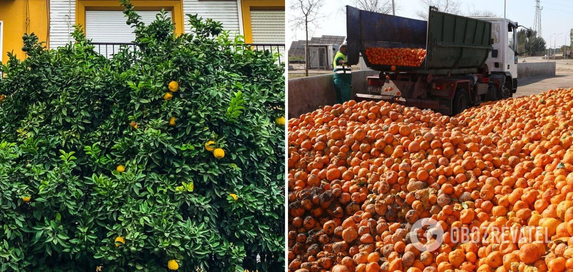 Сбор апельсинов
