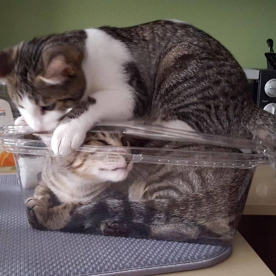 Кіт закрив пухнастого друга у контейнері