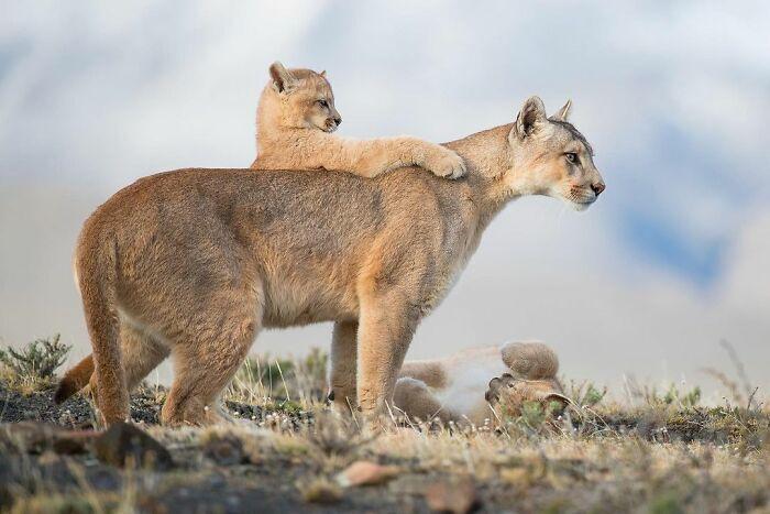 Тигриця вчить малюка прлювати