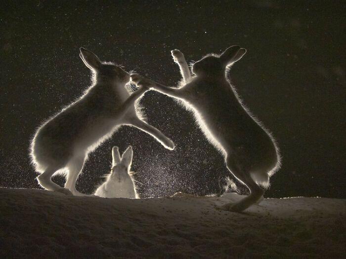 Зайці бавляться вночі