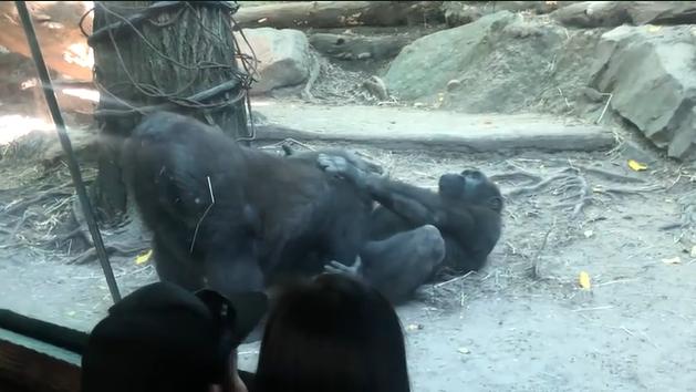 Шимпанзе устроили показательный оральный секс