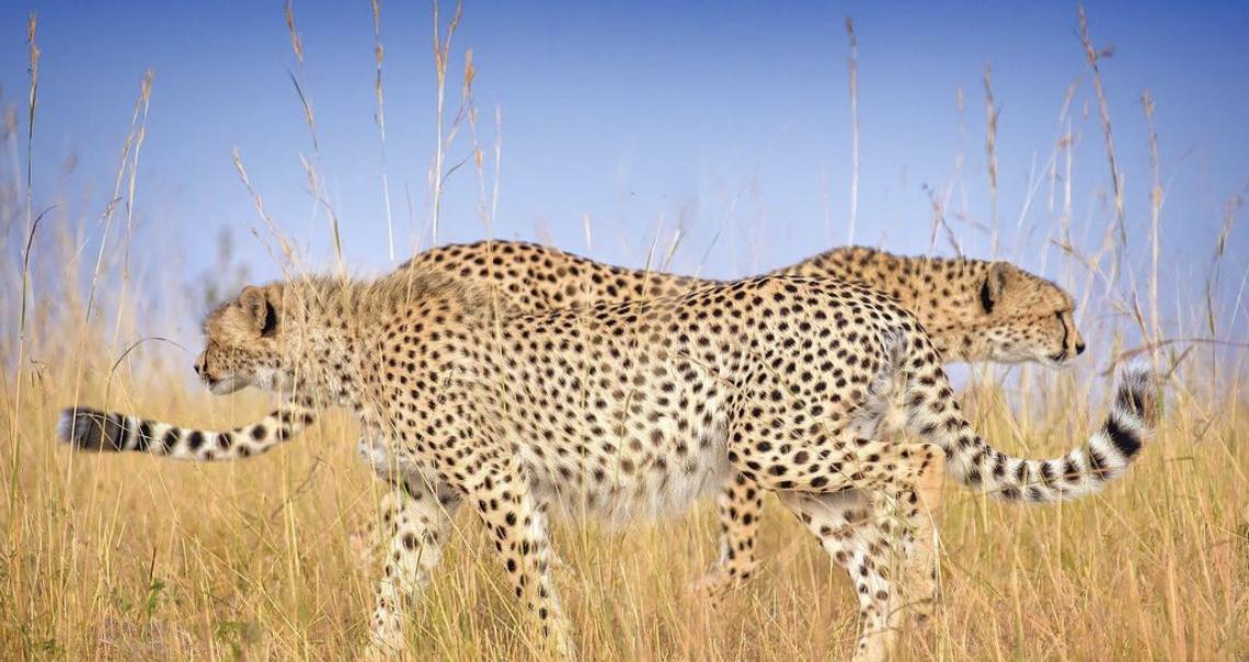 Леопарди гуляють в степу