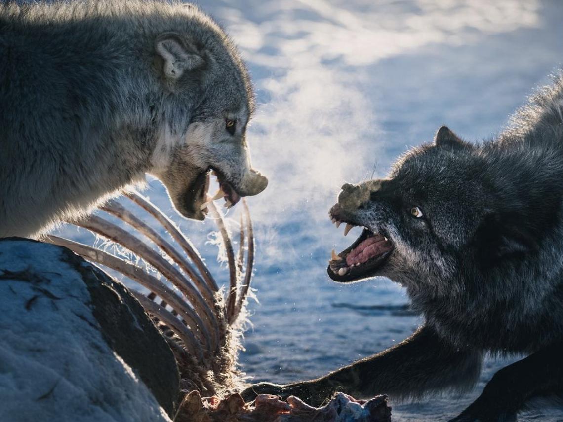 Вовки борються за свіженький обід