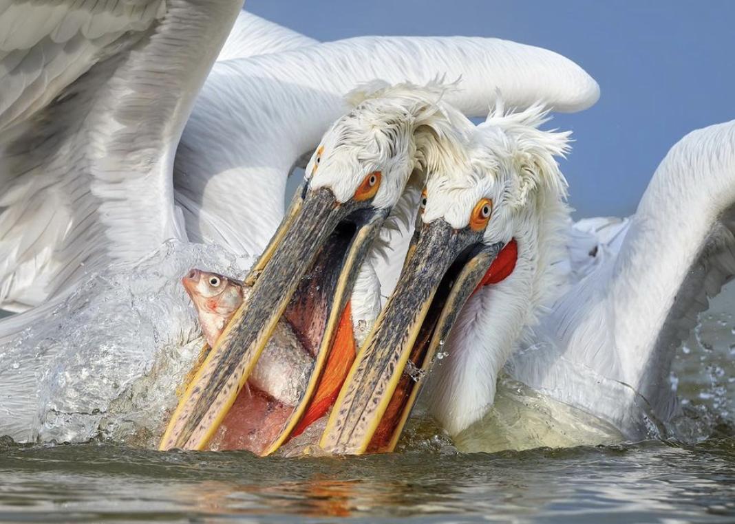 Пелікани впіймали рибу