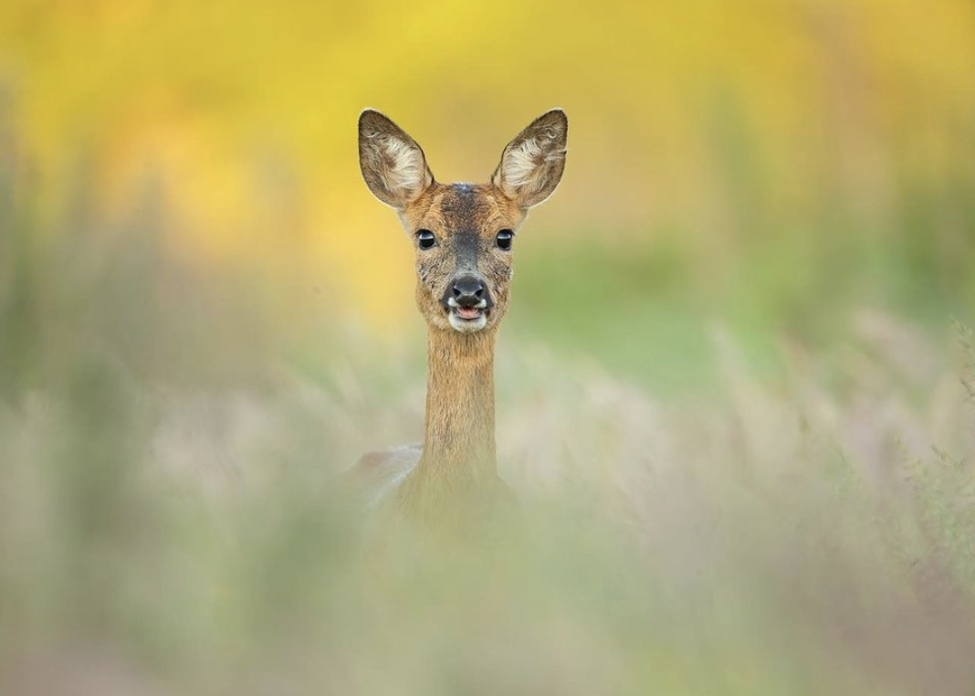 Молодий олень ховається від фотографа