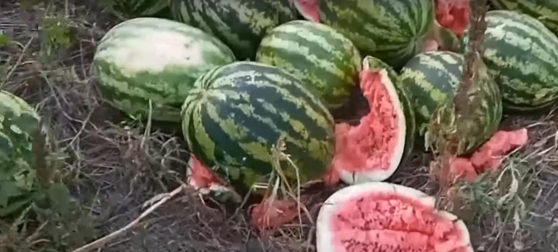 Фермери викидають кавуни.