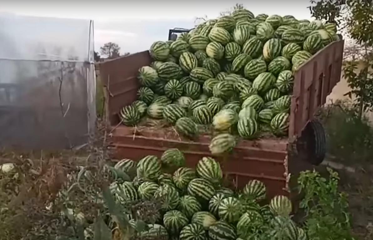 Непродані кавуни на Херсонщині мають намір переорати.