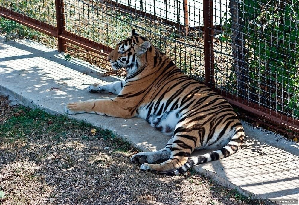 "Тигр у парку-сафарі ""Тайган"""