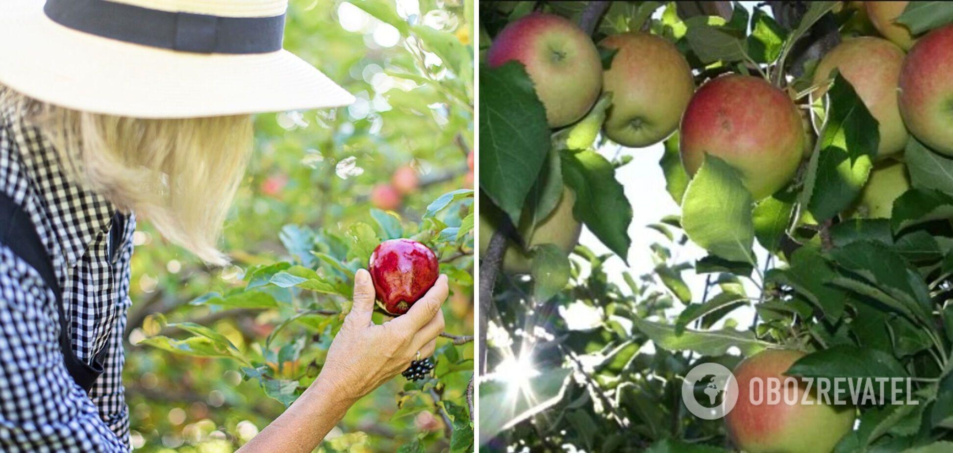 У цьому році очікується хороший урожай яблук.