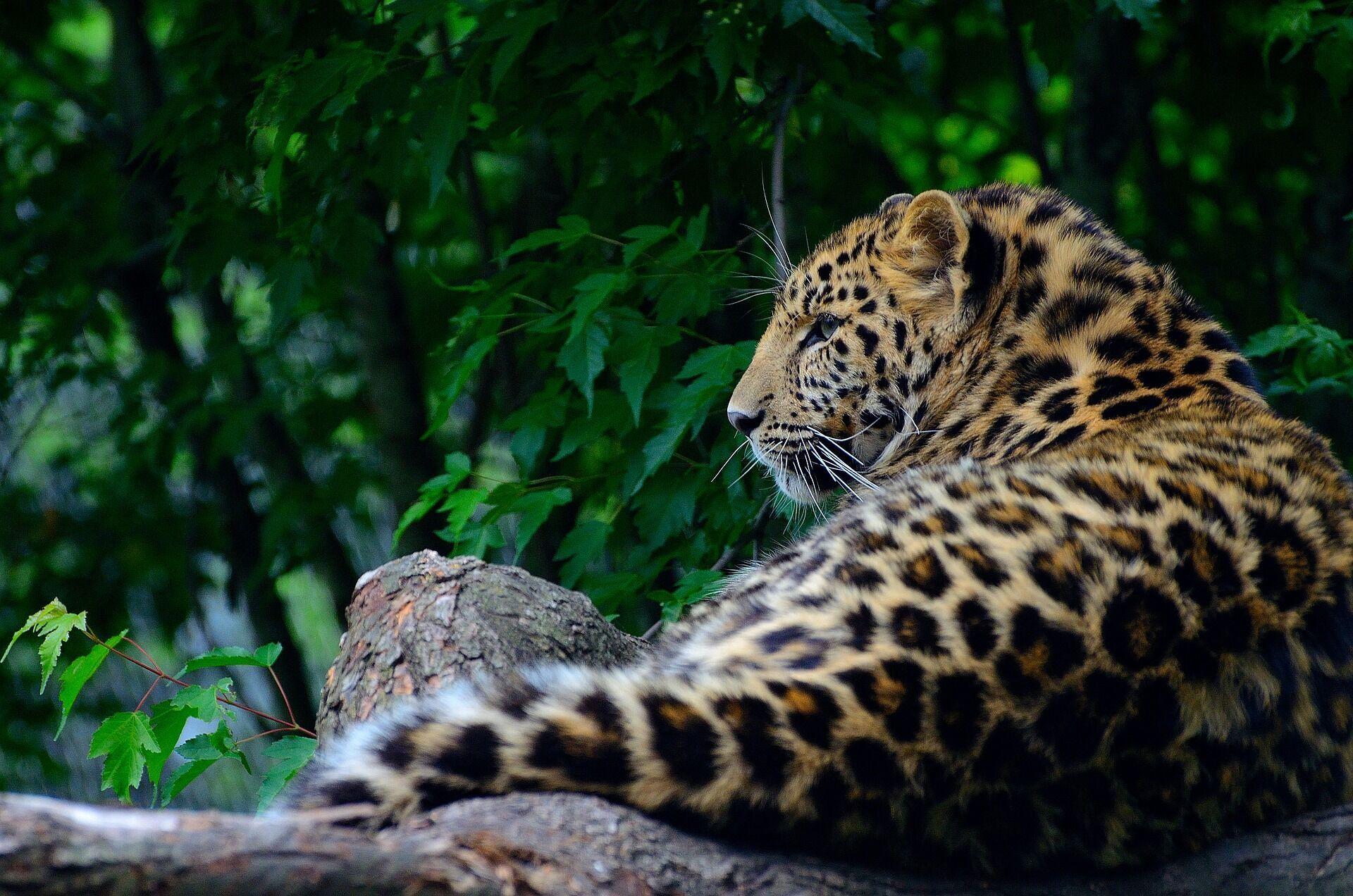 Пятнистый леопард в дикой природе.