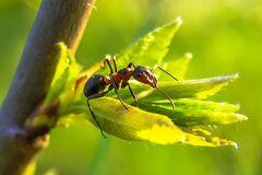 Рабочие муравьи произошли от летающих насекомых