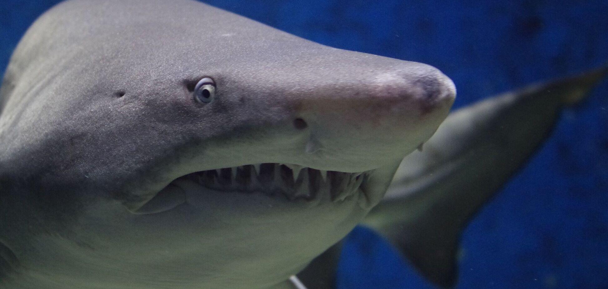У Єгипті розповіли про агресивну поведінку акули, яка напала на українців